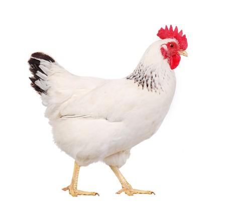 witte kip geïsoleerd op wit, studio opname