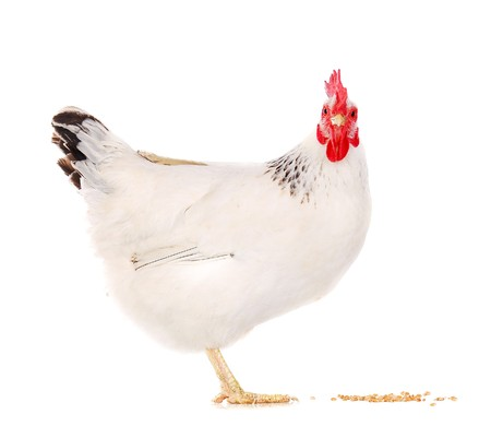 white hen eating wheat grains isolated on white, studio shot Stock Photo