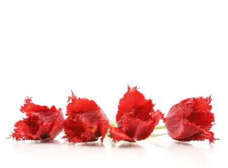 bouquet of the fresh tulips on white background Stock Photo - 7365943