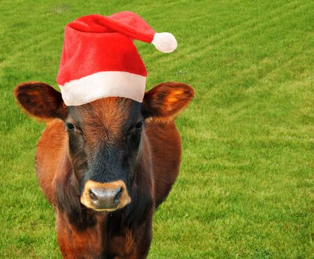 cow milk: Grazing cow in a Santas hat. Stock Photo