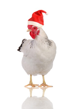 White hen in a Santas hat, isolated on white.