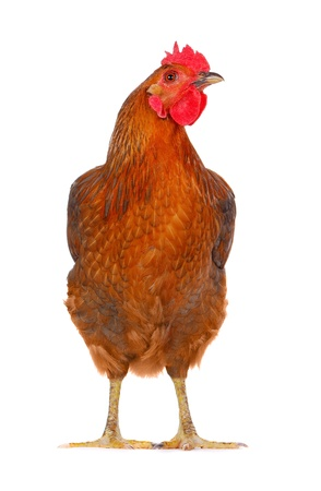 hen looking at the camera, isolated on white. photo