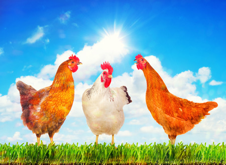 alive: Happy hens standing on a green grass against sunny sky.
