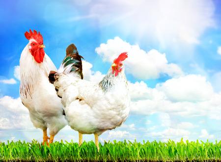 gallo: Pollo blanco y el gallo blanco que se coloca en una hierba verde contra el cielo.