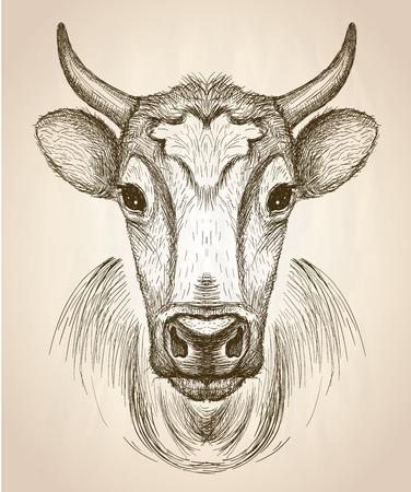 암소 얼굴 초상화, 전면보기, 벡터 손으로 그린 그래픽 스케치 그림입니다.