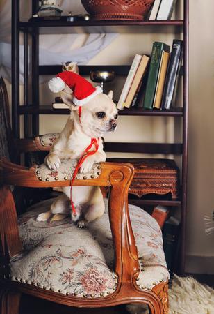 perros graciosos: Chihuahua perro que llevaba un sombrero rojo de Santa sentado en un sillón retro