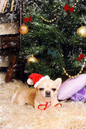 Cute chihuahua dog asleep under the christmas tree, new year card