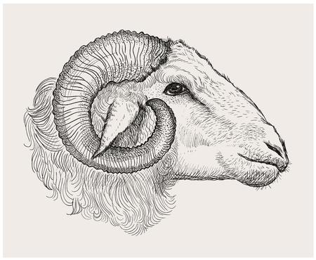 Ram hoofd, grafische vector hand getekende illustratie