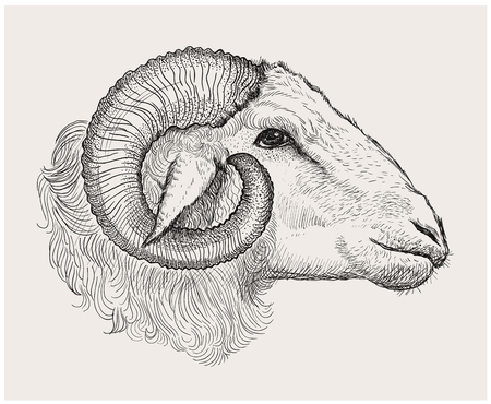 Ram head, graphic vector hand drawn illustration