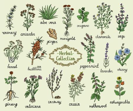 Colección de hierbas medicinales, ilustración de doodle gráfico dibujado a mano