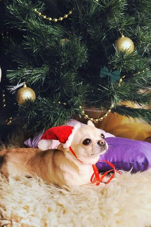 Young beige chihuahua dog in Santa hat posing under the christmas tree Stockfoto
