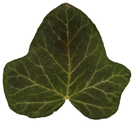 front side: Green ivy leaf front side, on a stand-alone layer