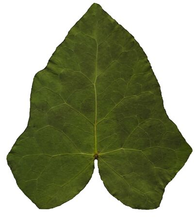 standalone: Green ivy leaf back side, on a stand-alone layer Stock Photo