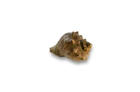 echinoderm: empty decorative seashell isolated on white background