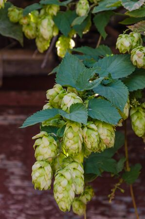 Hop plant close up growing on a farm.