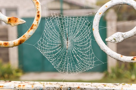 Spider web with dew drops close-up. At dawn. Stock Photo