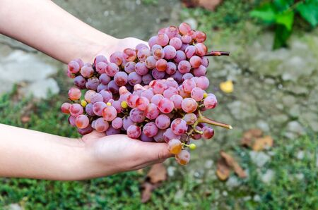Bunch of grapes on a background of autumn foliage yellowed Stock Photo