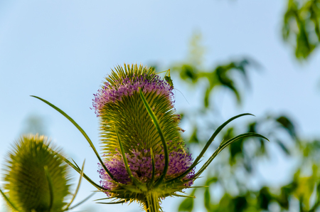 A dried flower Dipsacus Sativus in nature