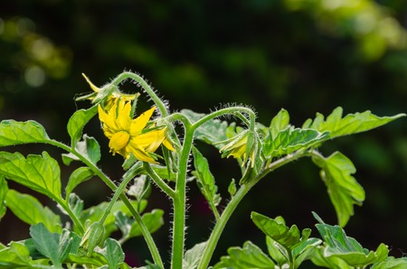 Green tomatoes. Immature fruits of tomatoes and yellow flowers on green stems in spring and summer 写真素材