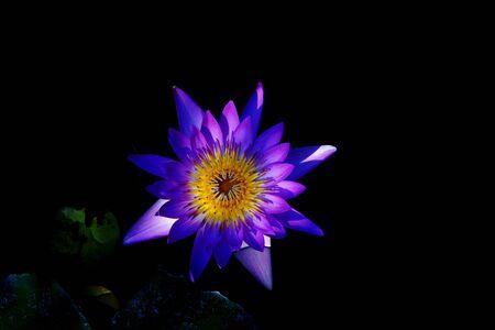 aquatic herb: Lotus or water lily;a beautiful aquatic flower Stock Photo