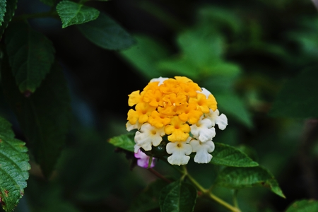 west indian: West Indian Lantana;colorful decoration palnt Stock Photo