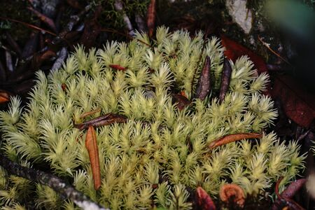 liverwort: mosses and liverworts in hill evergreen forest Stock Photo