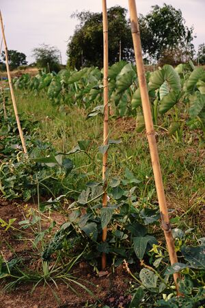 long bean: Yard long bean plant