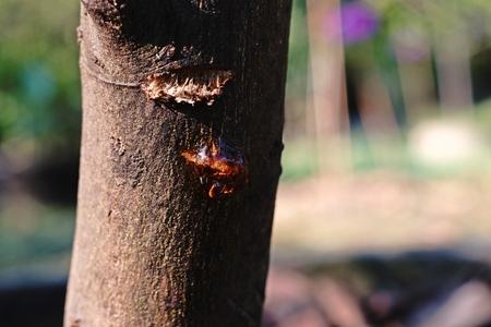 fungicide: citrus stem rot disease Stock Photo