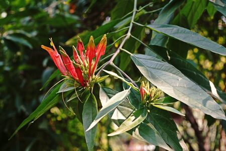 acanthaceae: Snake Plant;medical herb