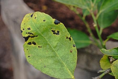 fungicide: citrus disease;melanose disease
