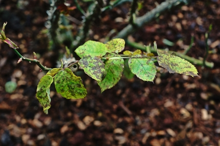 Roses leaf disease Stock Photo