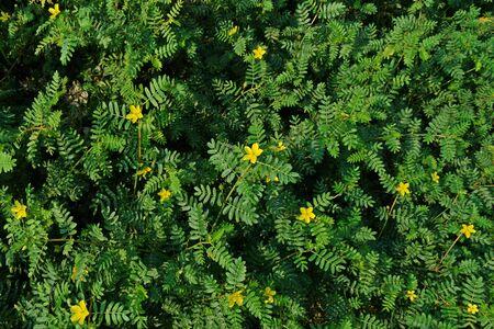 devils-weed, puncture vine,puncturevine,tackweed.;invasive broadleave weed