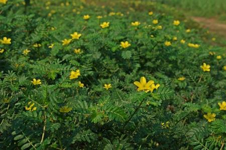devil's-weed, puncture vine,puncturevine,tackweed.;invasive broadleave weed