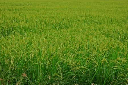rice field,rice panicle