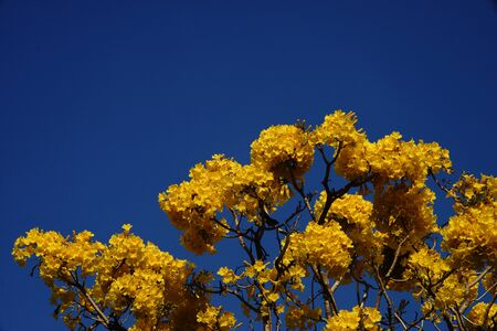 Silver trumpet tree blooming, a species of Tabebuia native to South America