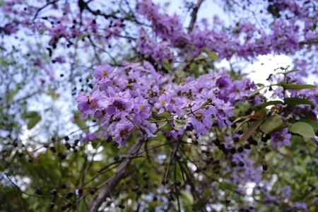 originate: Pride of India flowers,plant originate from South Asia