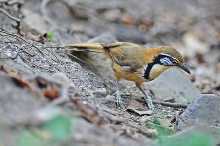 Lesser-necklaced Laughingthrush bird in natural forest,Thailand