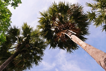 sugar palm tree,plant is used for producing sugar and sugar product in South East Asian