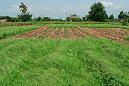 herbicide test field in field crop, sugarcane