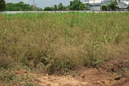 weed symptom after spraying herbicide 版權商用圖片