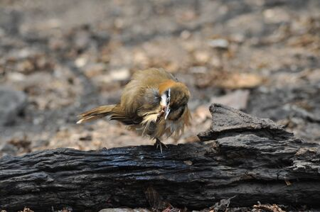 Lesser-necklaced Laughingthrush bird action, natural forest Stock Photo