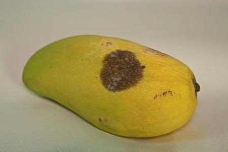 plant disease, mango fruit disease from fungi Stock Photo