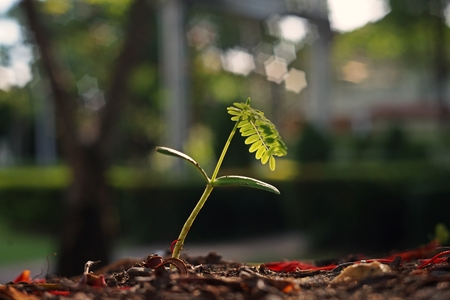 Royal poinciana seedling