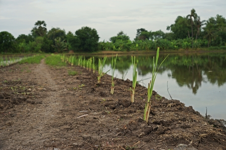 Lemongrass culture beside paddy field,mixed crop system