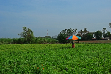 holy basil production field, Thailand 写真素材