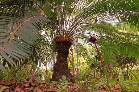 Cycas tree or Cycas palm a beautiful plant in natural forest
