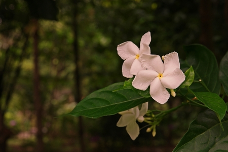 Crepe gardenia, Coffee rose or Pinwheel flower