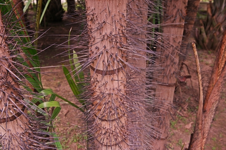 spiny palm trunk