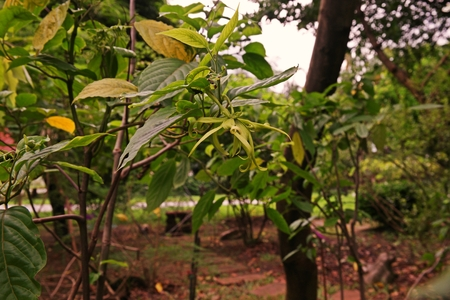 Perfume Tree or Cananga flower,aroma flowers one of  source of extract