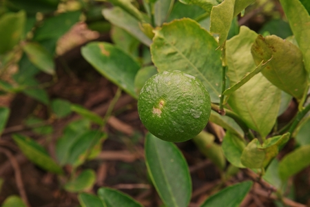 lime fruit, production field